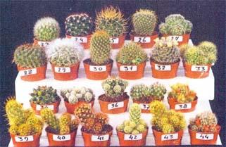голландские кактусы виды кактусы микс начала нужно